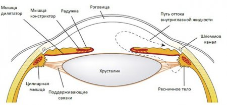 Анатомия и физиология зрительного аппарата